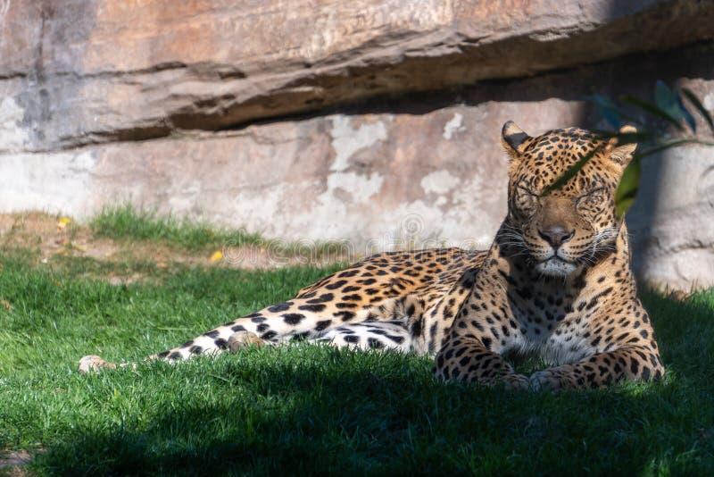 Leopardo al Bioparc in Valencia Spain il 26 febbraio 2019 immagini stock libere da diritti