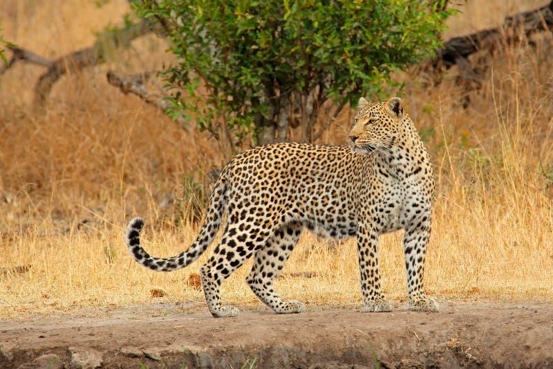 Leopardo alerta fotos de archivo libres de regalías