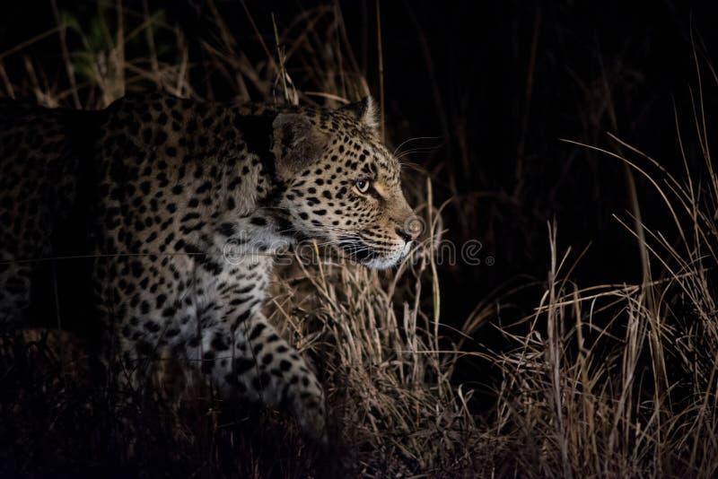 Leopardo alla notte fotografia stock libera da diritti