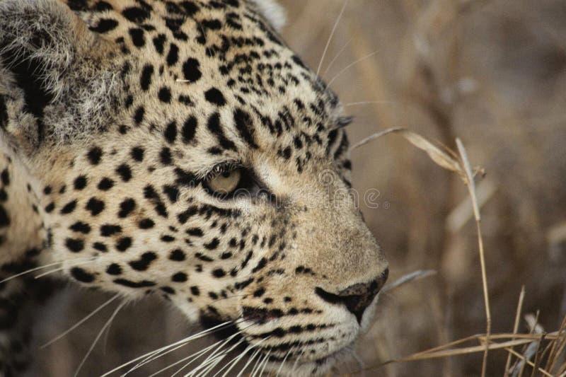 Leopardo, animais selvagens, animal terrestre, Jaguar fotografia de stock