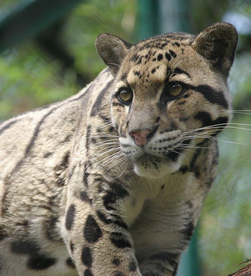 Leopardo apannato fotografia stock