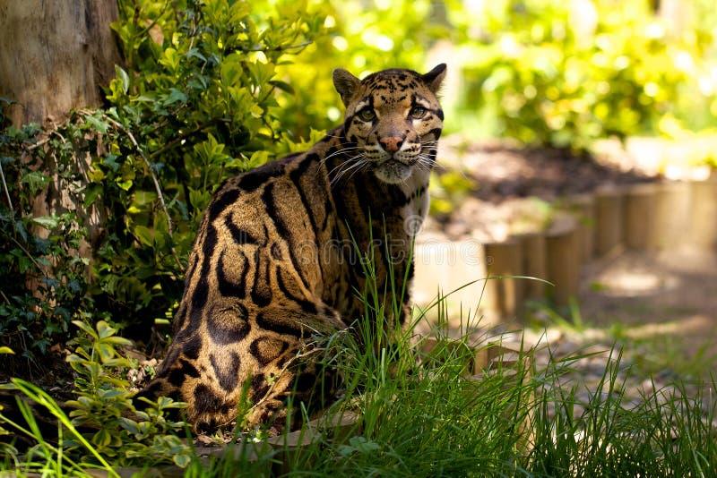 Leopardo apannato immagini stock libere da diritti
