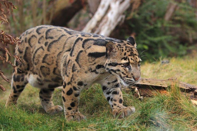 Leopardo apannato fotografie stock