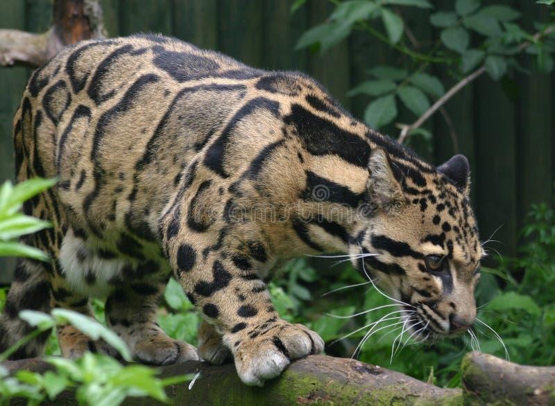 Leopardo apannato immagini stock