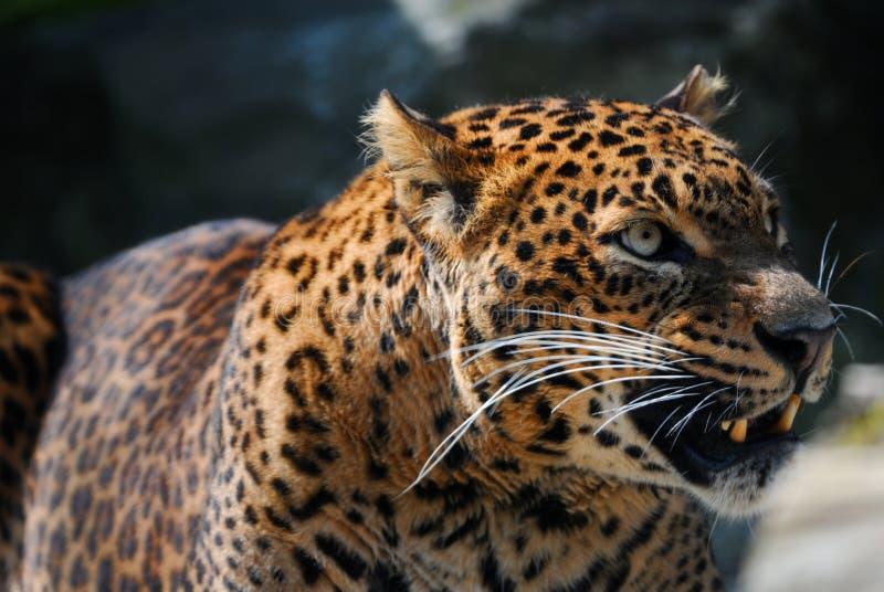 Leopardo arrabbiato immagini stock