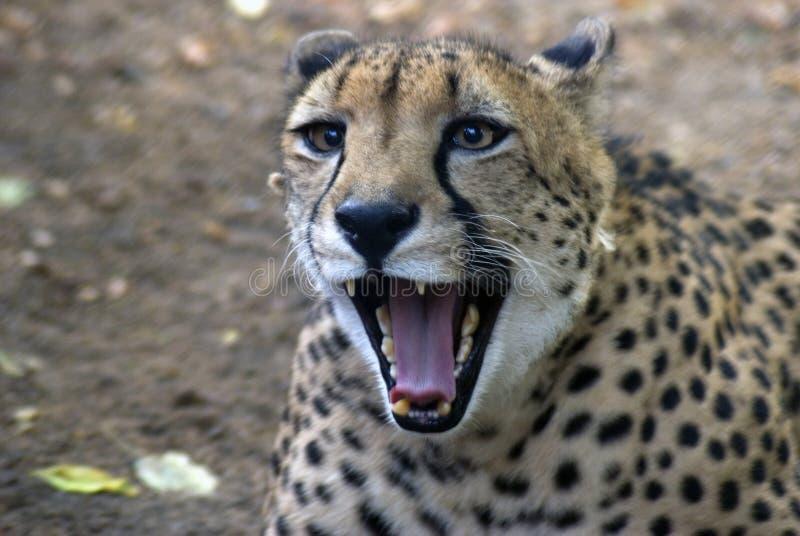 Leopardo arrabbiato fotografia stock