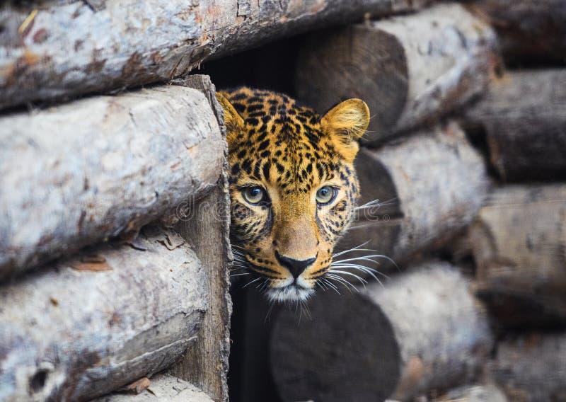 leopardo, bello ritratto immagini stock libere da diritti