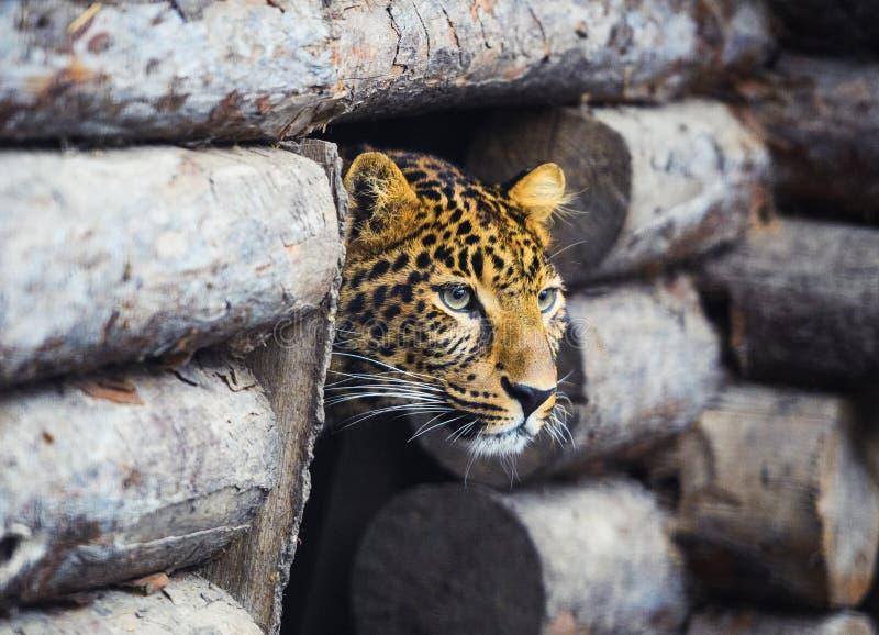 leopardo, bello ritratto fotografie stock libere da diritti