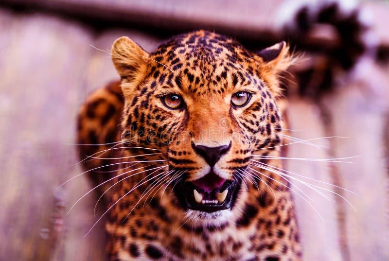 Leopardo, bello ritratto Mondo animale Grande gatto fotografie stock libere da diritti
