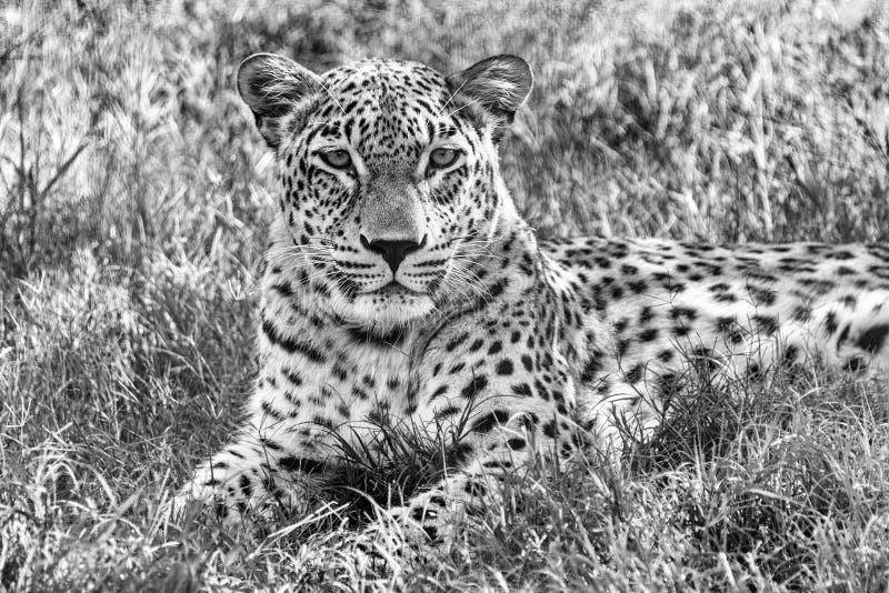 Leopardo in bianco e nero fotografie stock libere da diritti