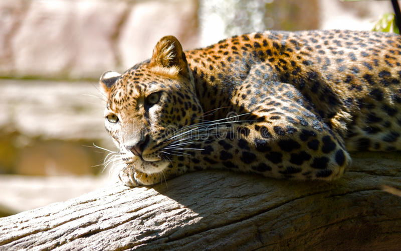 Leopardo bonito imagem de stock royalty free