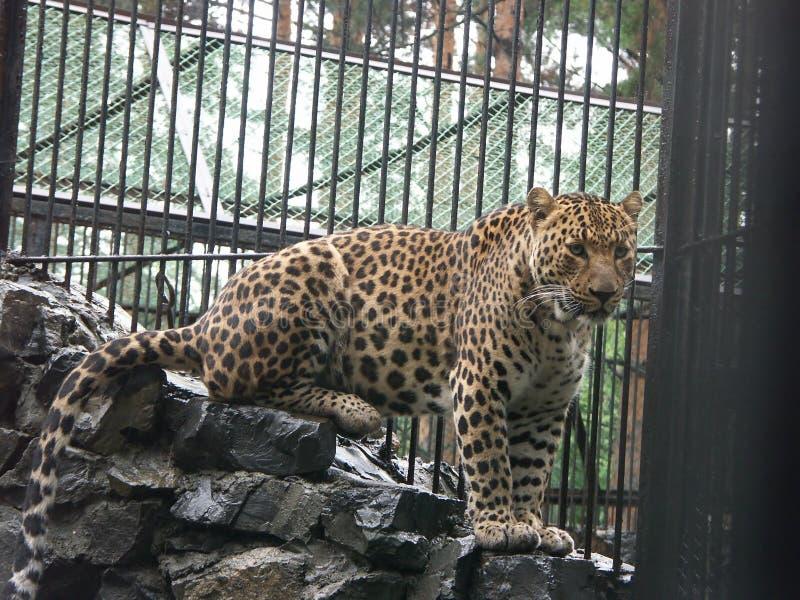 Leopardo caucasiano fotografia de stock