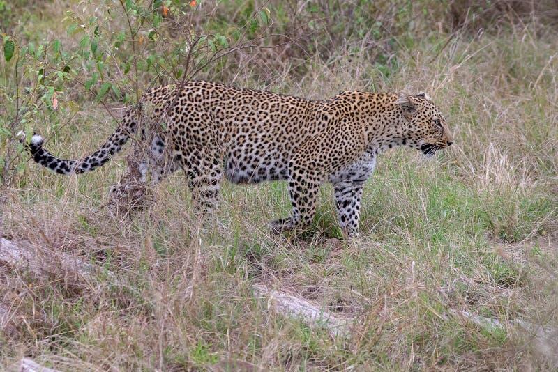 Leopardo che cammina nei pascoli in Masai Mara, Kenya, Africa fotografia stock