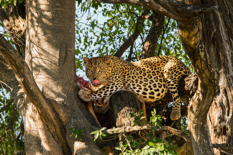 Leopardo che mangia antilope fotografie stock