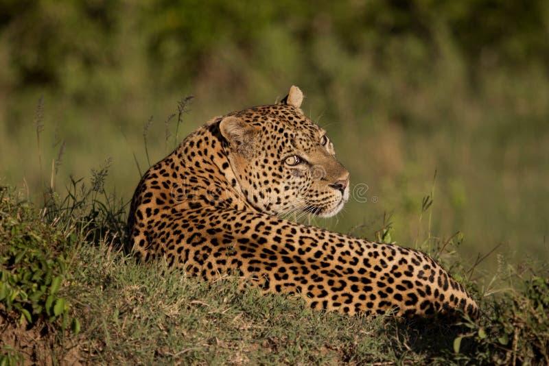 Leopardo che mette sull'erba fotografie stock libere da diritti