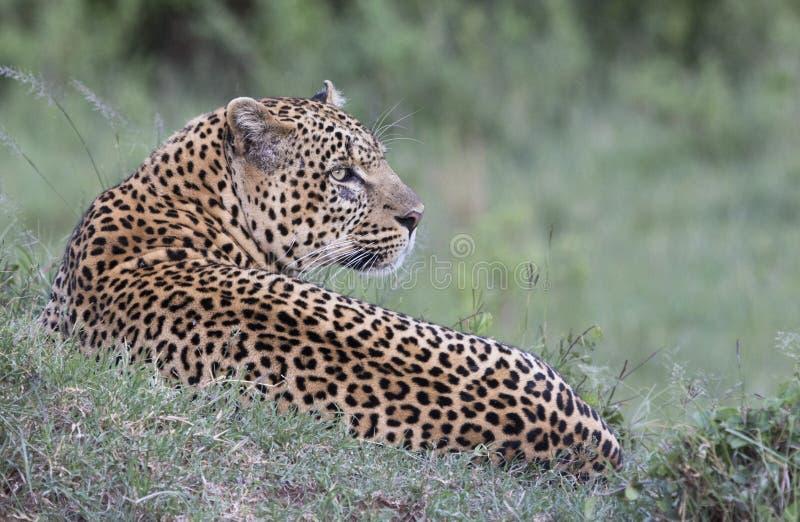 Leopardo che mette sull'erba immagine stock libera da diritti