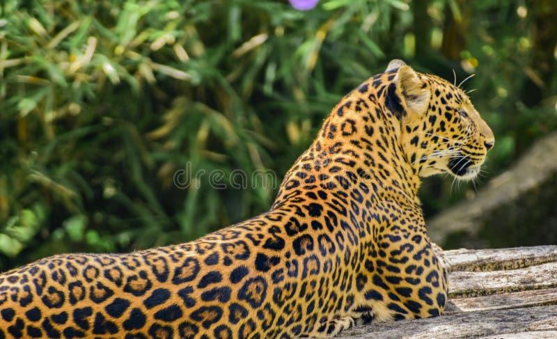 Leopardo che prende il sole al sole immagini stock libere da diritti