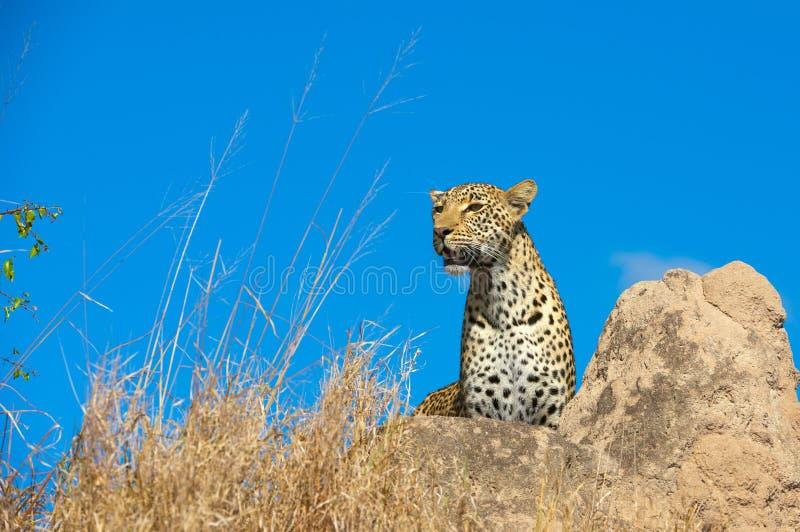 Leopardo che riposa nella savanna fotografie stock