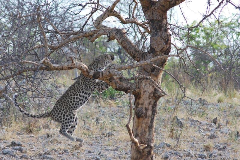 Leopardo che salta nell'albero in Namibia fotografia stock libera da diritti