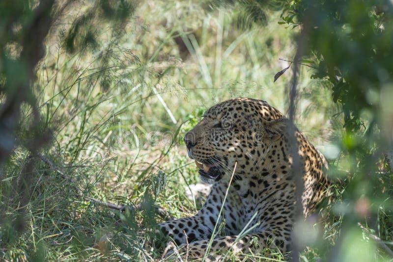 Leopardo che si siede in Bush ai masai Mara Game Reserve, Kenya immagine stock libera da diritti