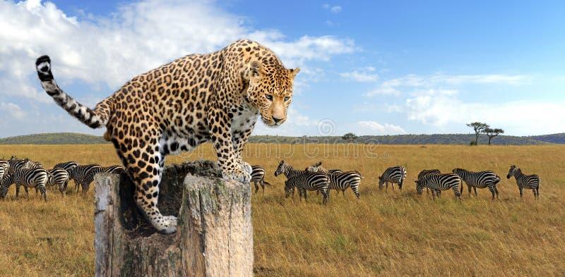 Leopardo che si siede su un albero immagine stock libera da diritti