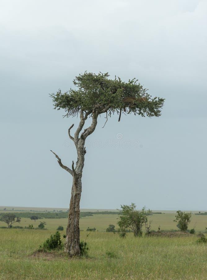 Leopardo che si siede sull'albero dell'acacia ai masai Mara Game Reserve, Kenya fotografia stock