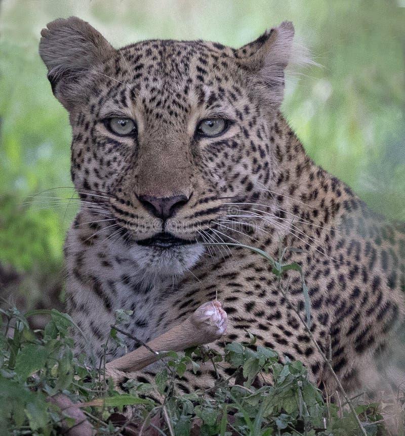 Leopardo che si siede in un albero con in Masai Mara, Kenya, Africa fotografia stock