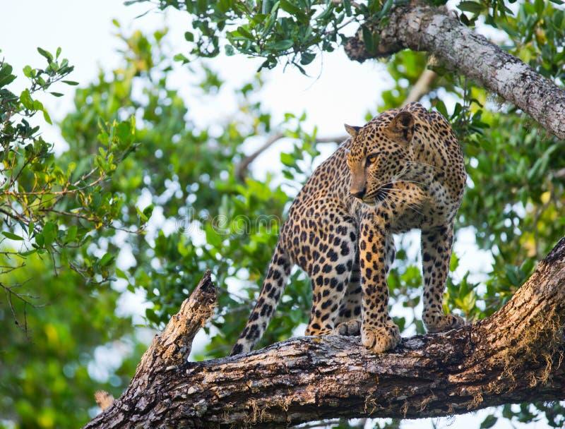 Leopardo che sta su un grande ramo di albero La Sri Lanka fotografia stock libera da diritti