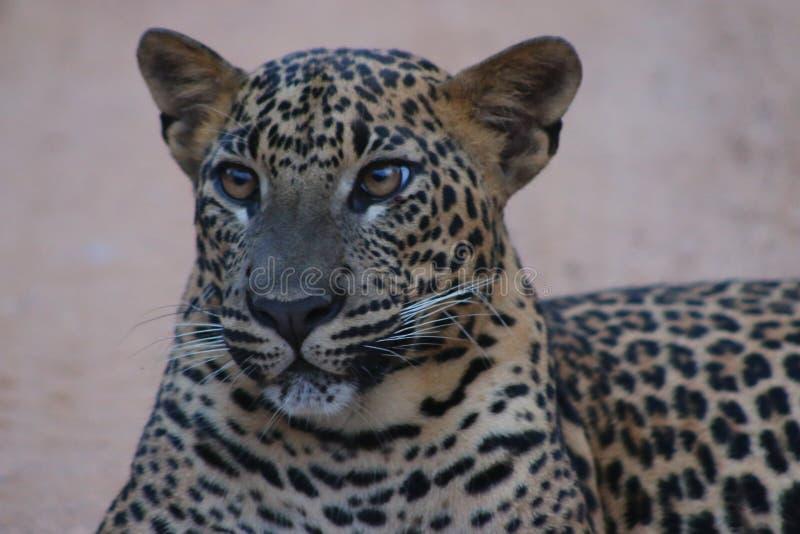 Leopardo cingalês imagens de stock royalty free
