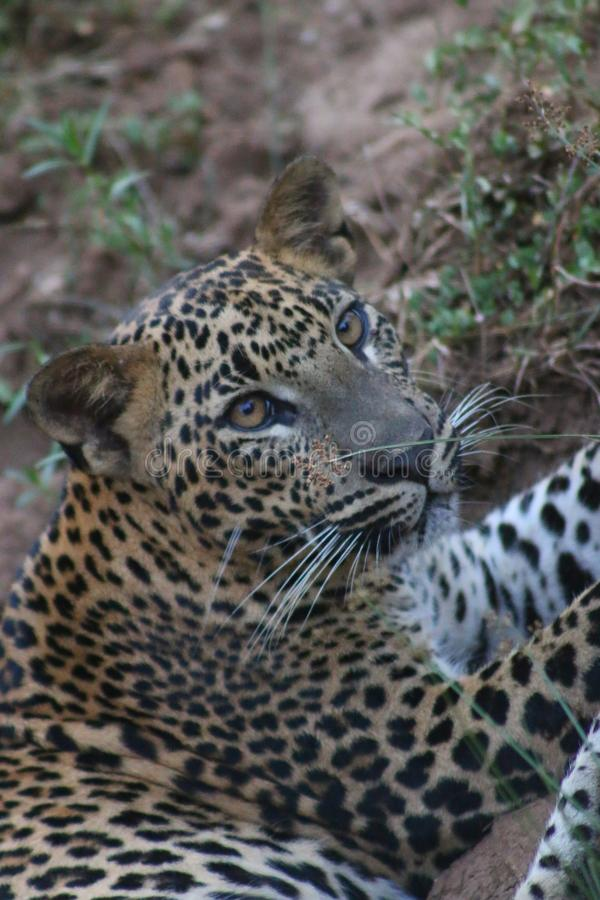 Leopardo cingalês imagem de stock