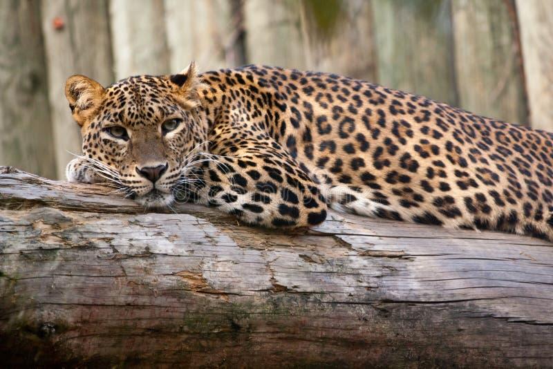 Leopardo cingalês foto de stock royalty free
