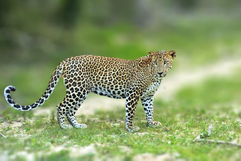 Leopardo cingalês de passeio, gato selvagem manchado grande que encontra-se no na foto de stock royalty free