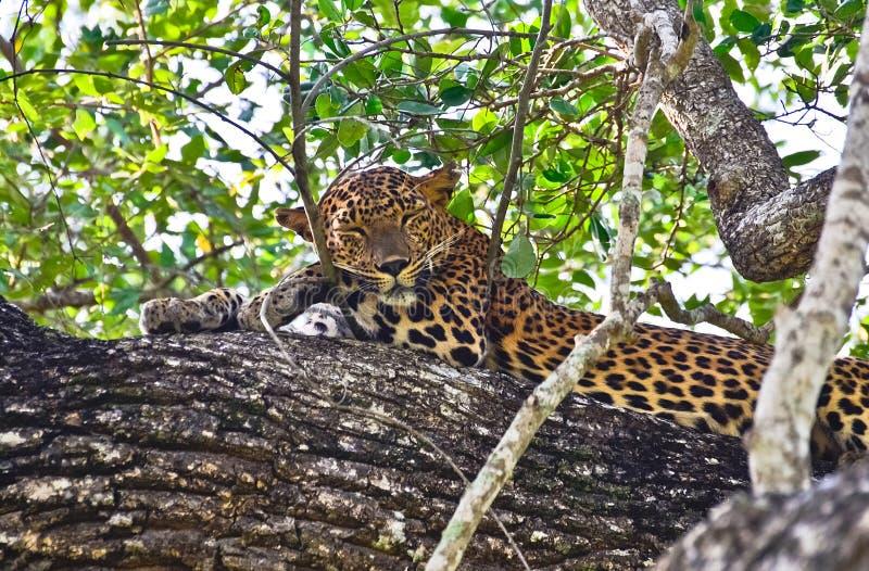 Leopardo cingalês - parque de Pardus Kotiya At Wilpattu National do Panthera foto de stock