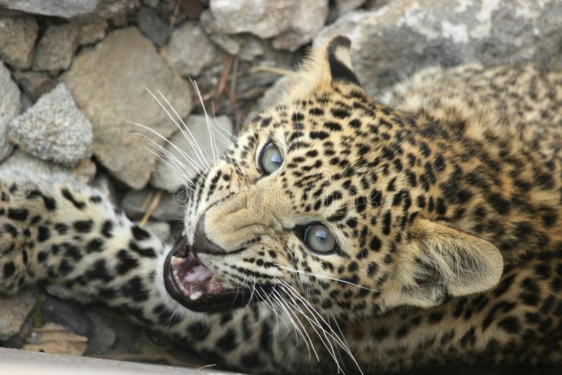 Leopardo - colmillo próximo imágenes de archivo libres de regalías