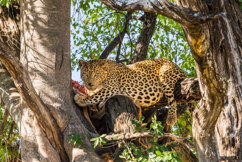 Leopardo com antílope matado na árvore fotografia de stock royalty free