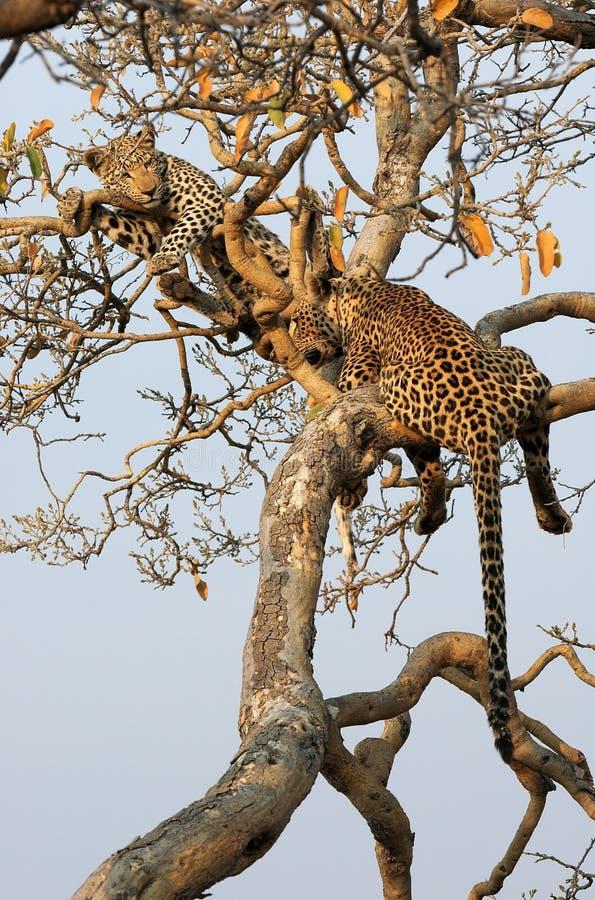 Leopardo com filhote fotografia de stock royalty free