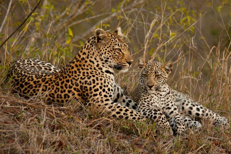 Leopardo con il cub di seduta immagine stock