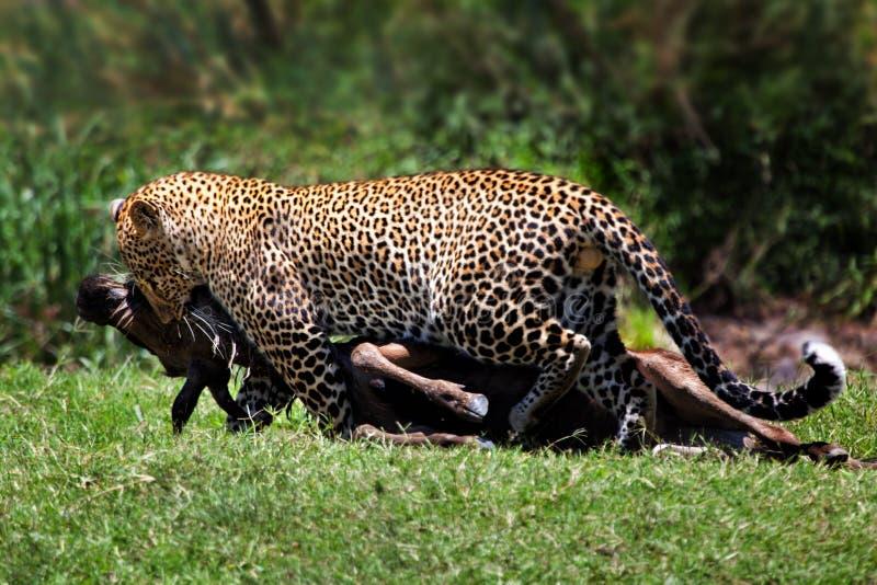 Leopardo con la preda del wildebeest, Masai Mara fotografia stock