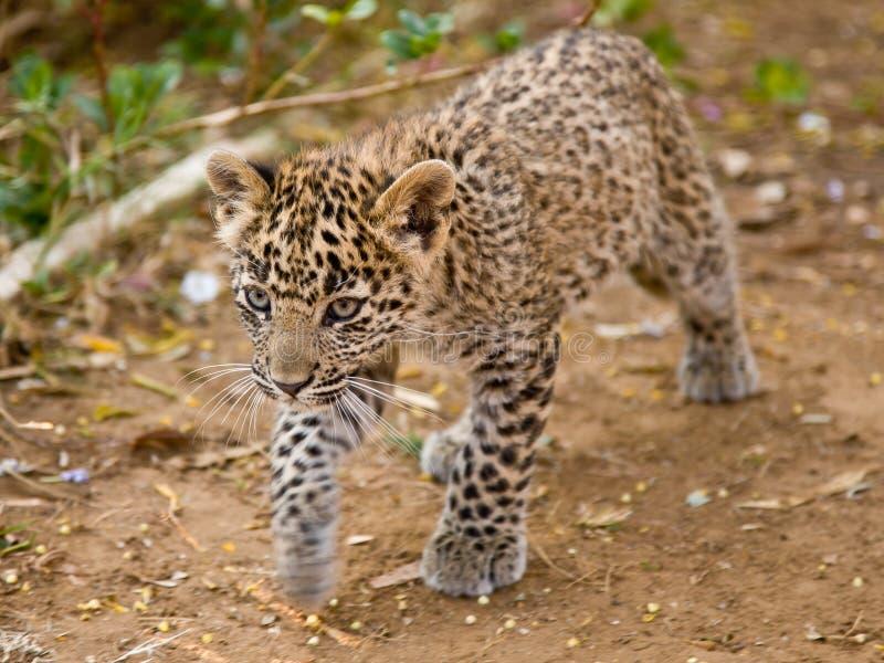 Leopardo Cub immagine stock libera da diritti
