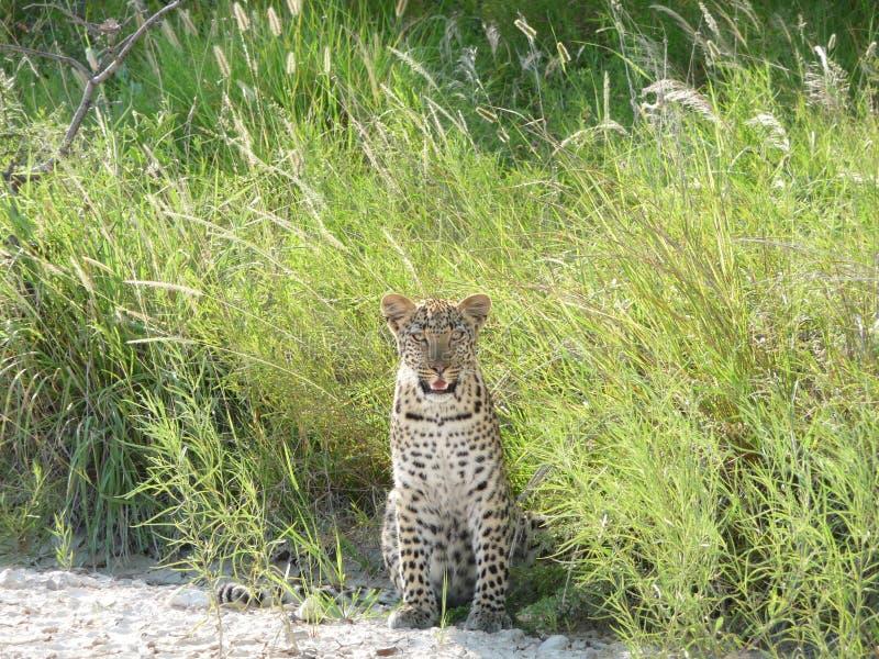 Leopardo curioso imagens de stock