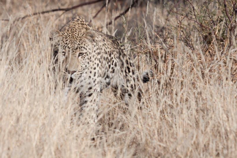 Leopardo de acecho imagen de archivo