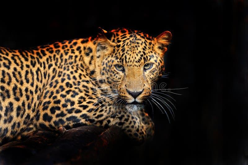 Leopardo de Amur imagem de stock royalty free