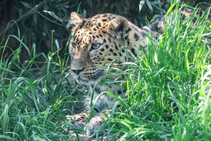 Leopardo de Amur que miente en emboscada entre hierba verde fotos de archivo
