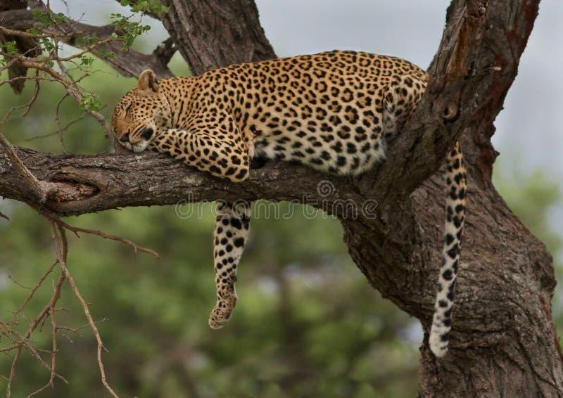 Leopardo de descanso fotografia de stock royalty free