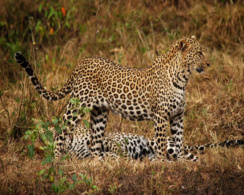 Leopardo de espera fotografia de stock