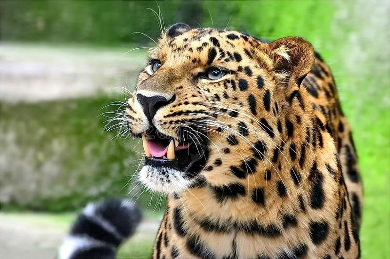Leopardo de Extremo Oriente, o lat del leopardo de Amur Orientalis del pardus del Panthera Primer, retrato Leopardo de Extremo Or foto de archivo