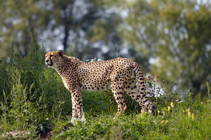 Leopardo de la caza imagen de archivo libre de regalías