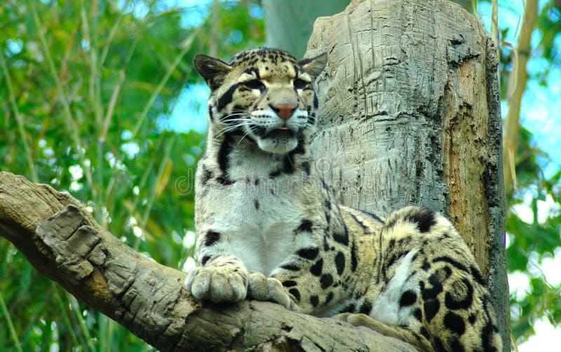 Leopardo de Lounging foto de stock royalty free