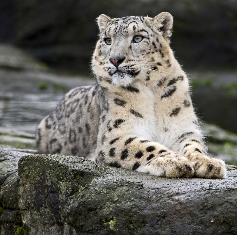 Leopardo de neve 1 imagem de stock