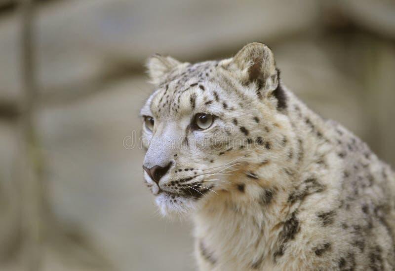 Leopardo de neve 1 fotos de stock royalty free